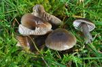 Slimy Waxcap (Hygrocybe irrigata)